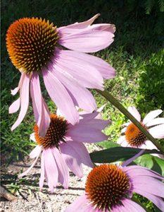 Echinacea wird in der Pflanzenheilkunde eingesetzt.